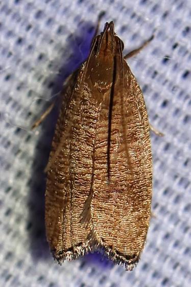 Psilocorsis cryptolechiella? - Psilocorsis
