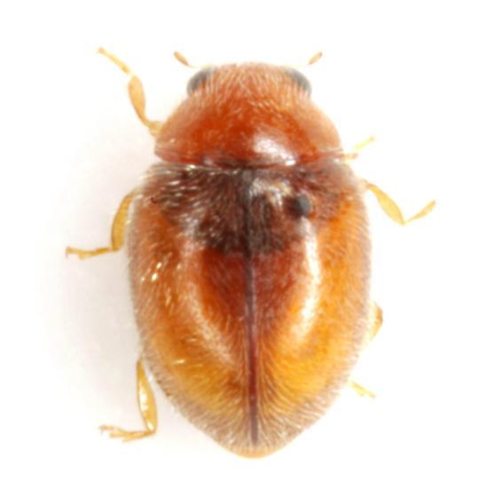 Nephus (Scymnobius) sordidus (Horn) - Nephus sordidus