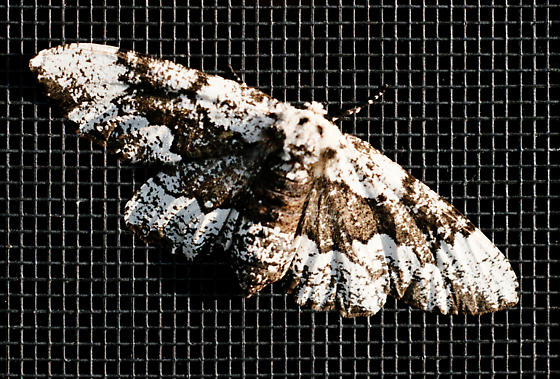 Phaeoura quernaria? - Phaeoura quernaria - female