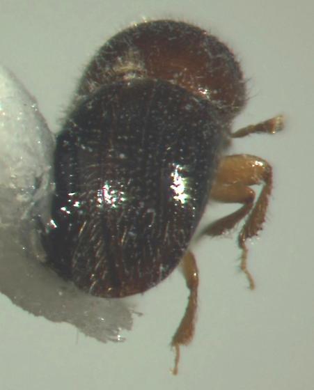 Xylosandrus compactus, posterior view - Xylosandrus compactus - female