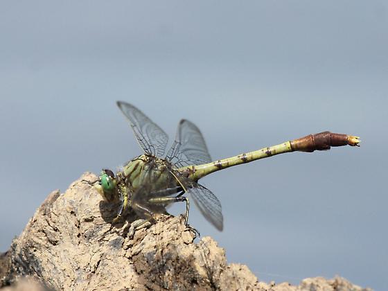 Arigomphus submedianus - male