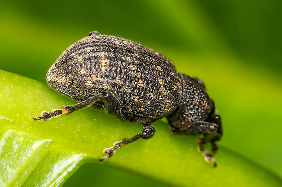 Black vine weevil? - Otiorhynchus sulcatus