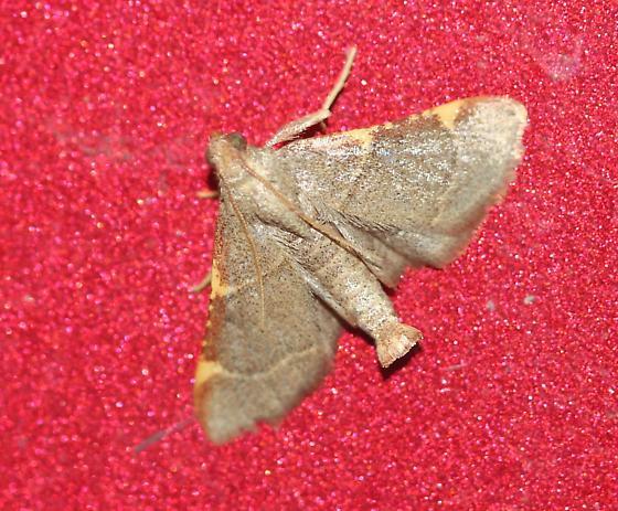Moth on Side of Red Truck - Hypsopygia binodulalis