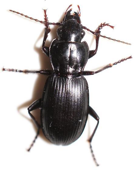 Beetle - Pterostichus - male