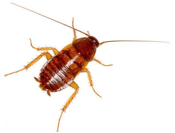 Cockroach Nymph - Periplaneta americana - BugGuide.Net