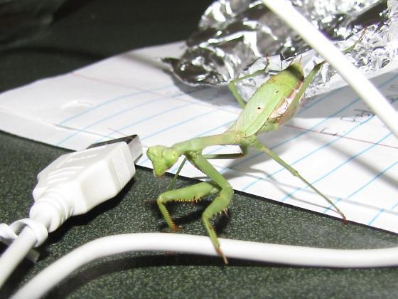 Mantis from Dodge City, Kansas - Stagmomantis carolina - female
