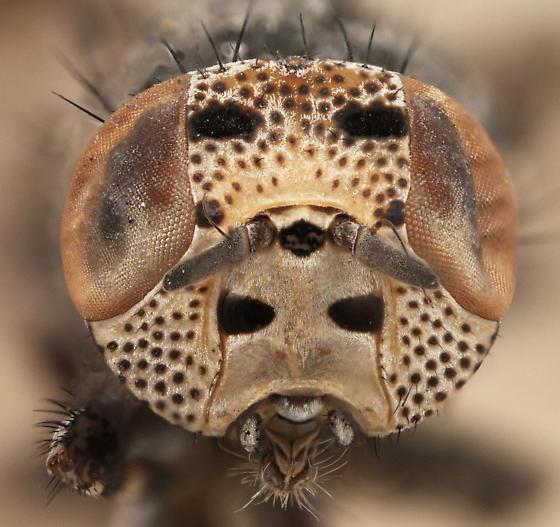 Stictomyia punctata - female