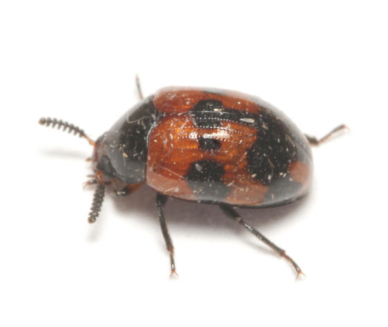 Tenebrionidae, lateral - Diaperis nigronotata
