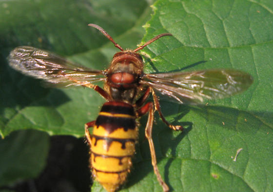 What wasp is this? - Vespa crabro