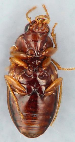 Elaphropus sp. - Elaphropus
