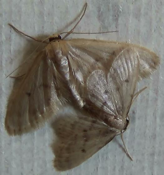 Fortunate Idaea Moths Mating! - Idaea bonifata - male - female