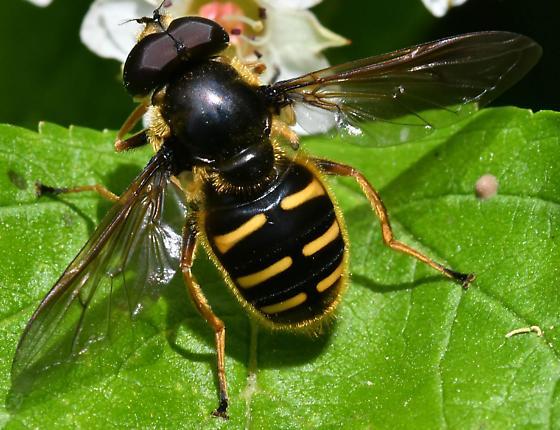 Hoverfly ID please - Sericomyia chalcopyga