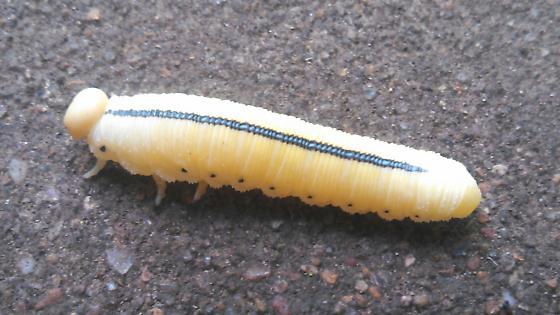 hairless fat white worm with black stripe - Cimbex americana