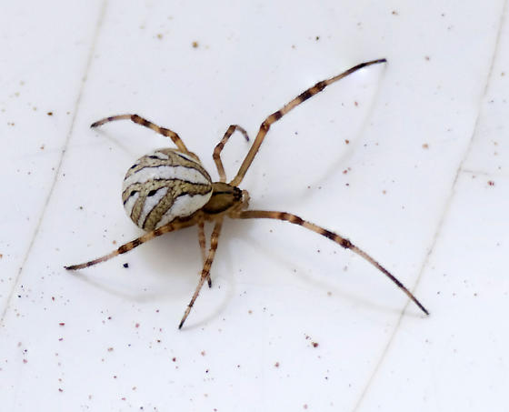 immature western black widow - Latrodectus hesperus - female