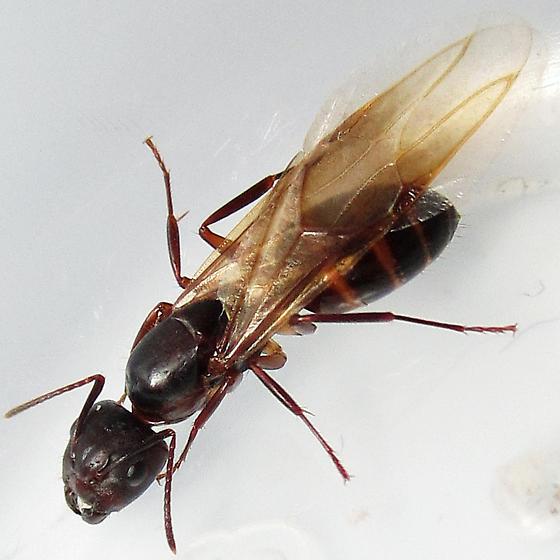 Camponotus subbarbatus - female