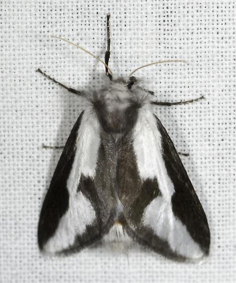 Is this the female? - Norape tenera - female