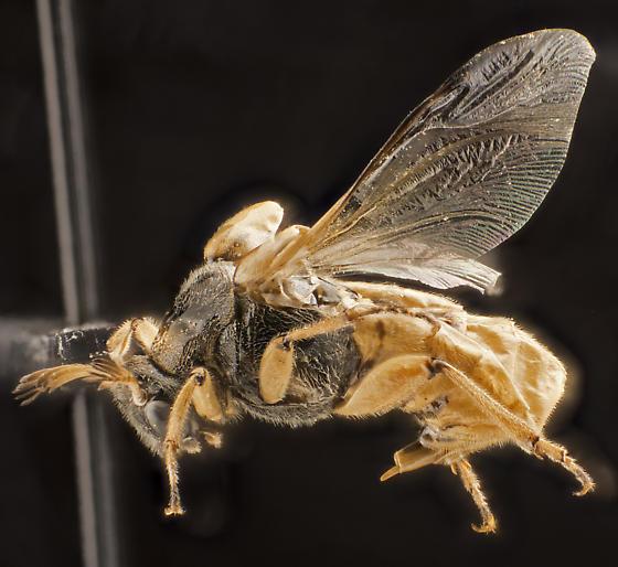 Beetle, dorsal - Ripiphorus rex - male