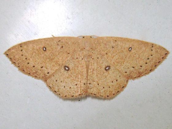 Packard's Wave - Hodges #7136 (Cyclophora packardi) - Cyclophora packardi - male