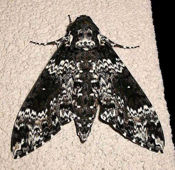 Rustic Sphinx Moth- Hodges#7778 - Manduca rustica