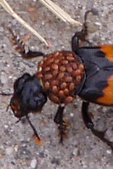 carrion burying beetle with mites? - Poecilochirus
