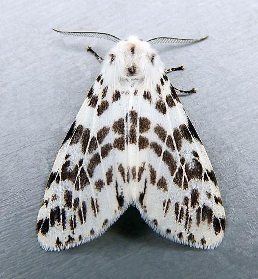 Pennsylvania Moth - Hyphantria cunea - male