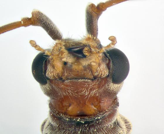 CerambycidaeX, ventral - Stenocorus cinnamopterus