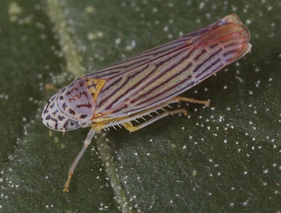 Madera leafhopper c - Graphocephala aurora