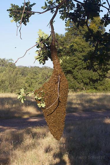 Feral Honey Bee Swarm - Apis mellifera