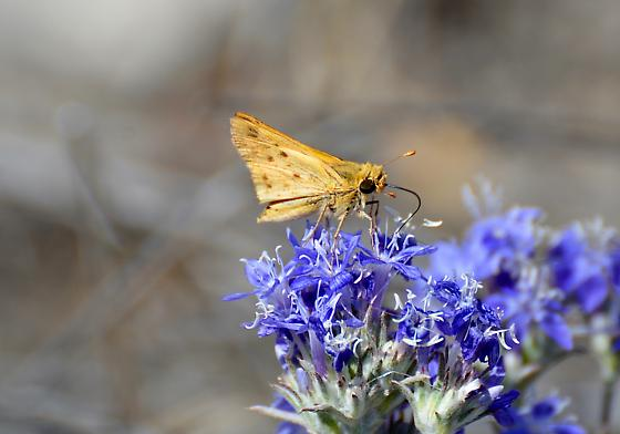 small orange moth or butterfly - Hylephila phyleus