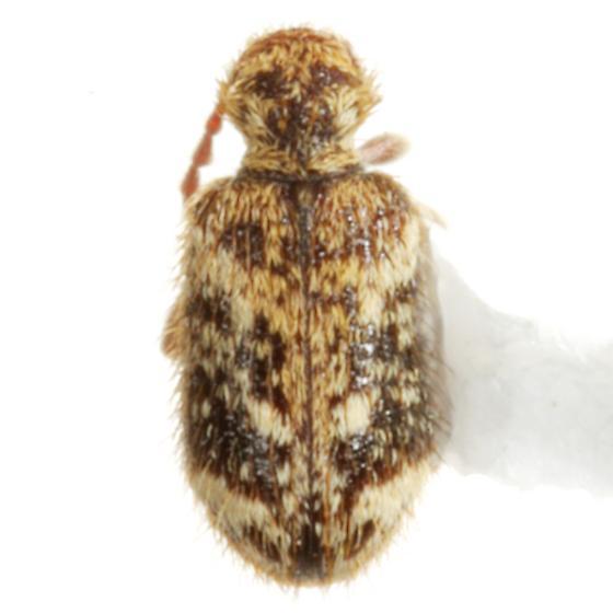 Ptinus sp. (EGR 4) - Ptinus