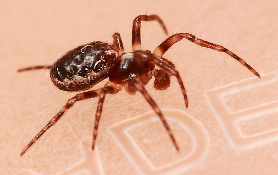 Spider - Hypsosinga rubens - male