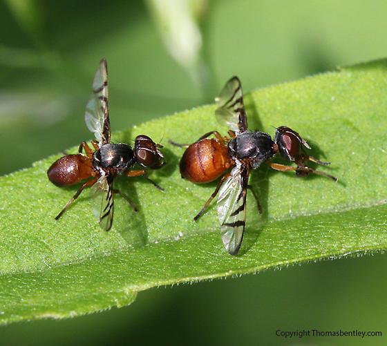 Flies - Rivellia - male - female