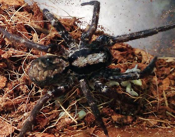 female wolf spider - Schizocosa? - Gladicosa - female
