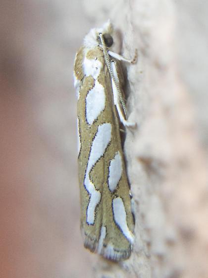 Moth - Pelochrista - female