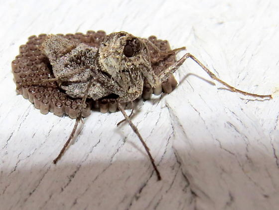 wingless moth with eggs - Alsophila pometaria - female
