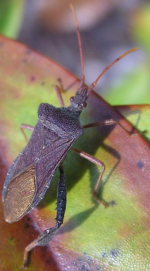 Leaf footed bug with gold wing membranes - Leptoglossus fulvicornis