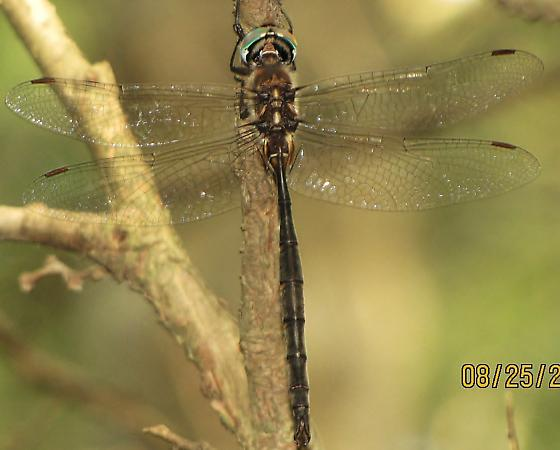 Is this an American emerald, male ? - Somatochlora incurvata