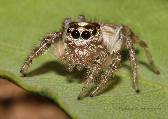 - - Colonus hesperus - female