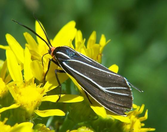 Tiger Moth ID - Ctenucha cressonana