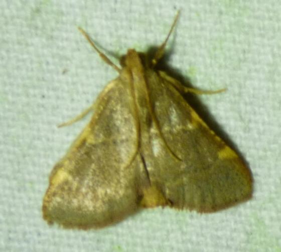 unknown moth - Hypsopygia binodulalis
