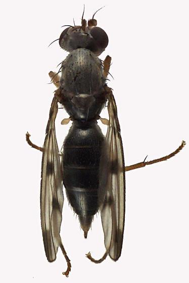 Opomyzidae - Geomyza tripunctata