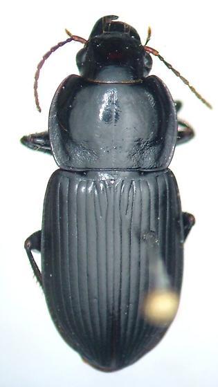 Anisodactylus harrisii