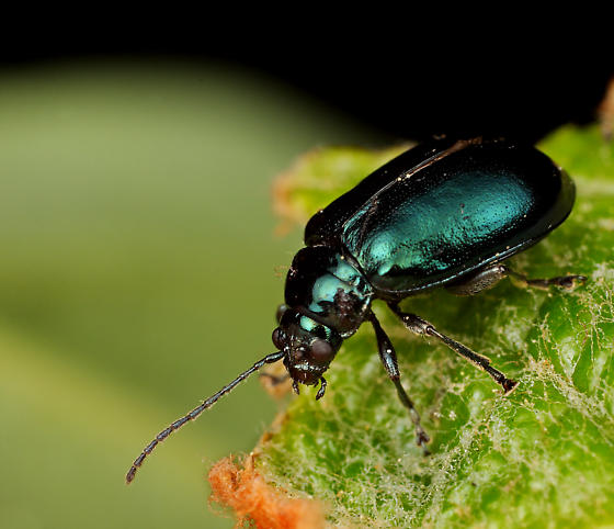 Coleoptera - Altica chalybea