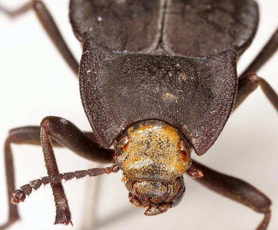 Stenomorpha (Asidopsis) opaca (Say) - Stenomorpha opaca