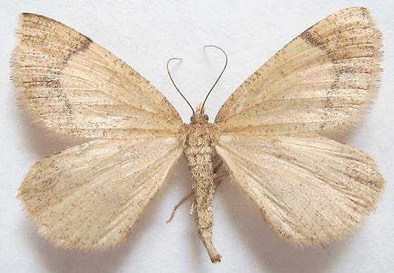 Wilsons Fawn Moth - Sericosema wilsonensis - female
