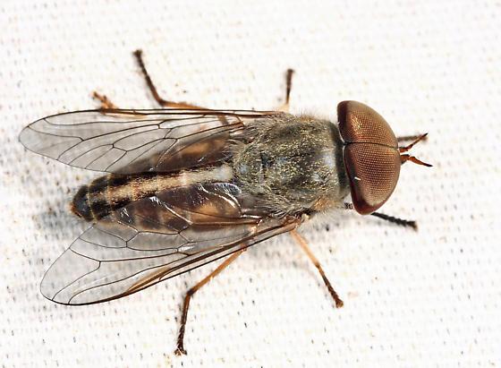 horse fly - Tabanus - male