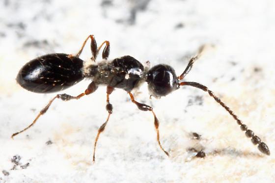 Diapriidae? - Trichopria - female
