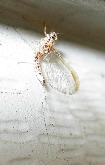Type of fly? - Cloeon dipterum