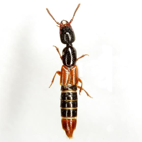 Lissohypnus texanus Casey - Lissohypnus texanus