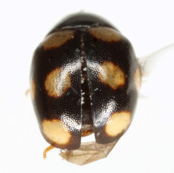 Brachiacantha decempustulata (Melsheimer) - Brachiacantha decempustulata